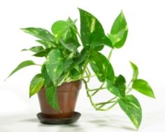 Pothos -- Another of NASA's fresh air plant types!