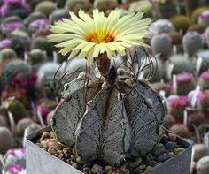 Astrophytum CAPRICORNE v MAJOR
