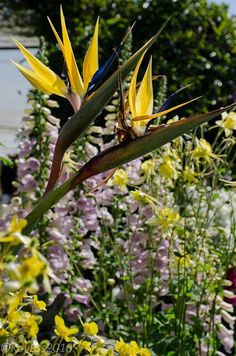 Yellow bird of paradise echoed by Aquilegia chrysantha at Annie's Annuals, April.