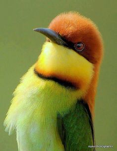 Chestnut Headed Bee Eater (Indian Subcontinent)