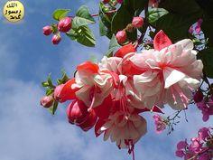 Küpe çiçeği, küpe gibi sarkık çiçekleri olan bir süs bitkisidir. Nemli, gölgelik yerlerde yetişir. Anayurdu Meksika'nın yüksek dağları, Güney Amerika ile Yeni Zelanda adasıdır.