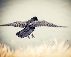 A Raven Flying. Print comes in 10 sizes! #Raven #BlackBird #Bird #Flying #Print #ForSale #EtsySeller #EtsyStore #EtsyShop #Etsy #WallArt #Photography #Nature