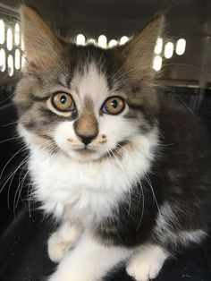 Meet Cookie, an adoptable Domestic Long Hair looking for a forever home. If you're looking for a new pet to adopt or want information on how to get involved with adoptable pets, Petfinder.com is a great resource.