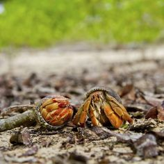 They're scavengers in the wild, but pet hermit crabs thrive on balanced nutrition.