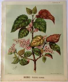 Sarah Featon, MAKOMAKO. -- Aristotelia racemosa. - Sara FEATON  Hand-coloured engravings from The Art Album of New Zealand Flora, 1889. It contained descriptions of the native flowering plants of New Zealand and the adjacent islands.
