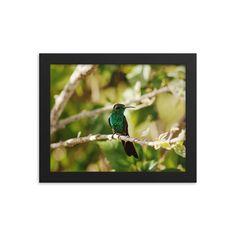 Framed poster of hummingbird on a tree - Hummingbird Cuba - Travel photo- Toronto photographer - Framed Photo Print - Home Decor - Wall Art Toronto Photographers, Cuba Travel, Home Decor Wall Art, Hummingbird, Animal Pictures, Travel Photos, Framed Art, Prints, Poster