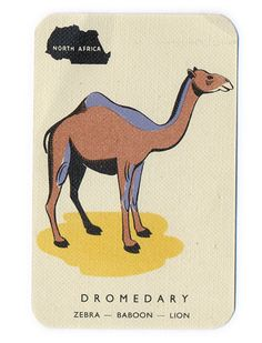 camel flash card