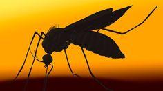 MosquitoesUnusual US Zika virus case baffles experts