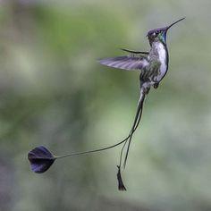 A beautiful endangered hummingbird (Marvellous Spatuletail - Loddigesia mirabilis) from Northern Peru
