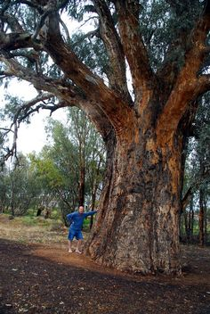 Giant River Red-gum 10.89 metres in circumference at Orroroo. Eucalyptus camaldulensis