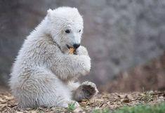 CUTE BABY POLAR BEAR Animals And Pets, Baby Animals, Cute Animals, Beautiful Creatures, Animals Beautiful, Baby Polar Bears, Bear Cubs, Pet Birds, Mammals