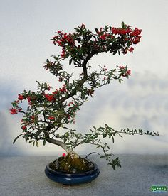 Bonsaï & Penjing - Nepal firethorn - Pyracantha crenulata - Rosaceae - 10 years old - Created at Jardin botanique de Montreal SC20111218 100