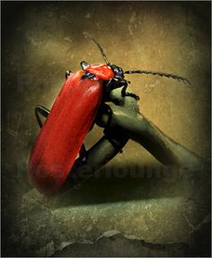 Roter-Feuerkäfer