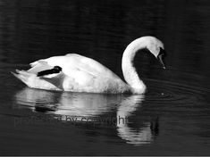 Solo - Swan 8 x 10 fine art photography black and white print by skybird111