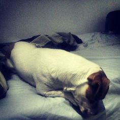 Beautilful  Jack russell terrier ❤ My love