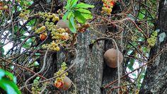 abricó-de-macaco-fruta-não-comestível (Foto: Challiyil Eswaramangalath Pavithran Vipin/CCommons)