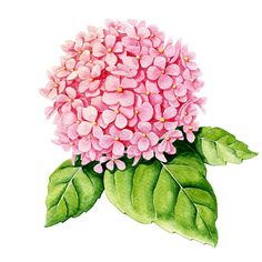 Illustration about Pink hydrangea on white background. Illustration of illustration, image, color - 44591159 Art Floral, Watercolor Flowers, Watercolor Paintings, Watercolor Background, Watercolors, Pink Hydrangea, Hydrangea Plant, Plant Vector, China Painting