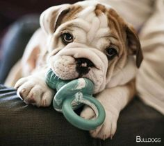 The Bulldog is a medium-sized breed of dog. Among all the breeds,the most popular ones are definitely British Bulldog and French Bulldog. Cute Bulldog Puppies, Cute Bulldogs, English Bulldog Puppies, Rottweiler Puppies, English Bulldogs, Baby Bulldogs, Cute Baby Animals, Funny Animals, I Love Dogs