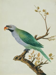 Derbyan parakeet, watercolour on paper, China (Guangzhou) c. 1800-1840.  http://www.surfaceview.co.uk/collection/galleries-museums/victoria-and-albert