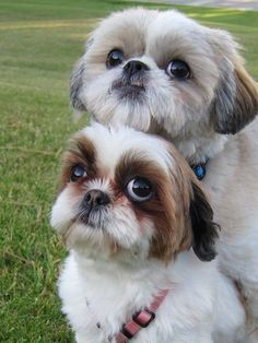 0fb8eb51b7cf If you adore Shih-Tz If you adore Shih-Tzu dogs then you will absolutely  love our collection of best selling Shih-Tzu T-shirts mugs etc.
