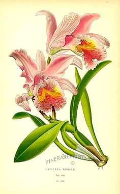 Antique print: picture of Orchid (Cattleya mossiae) - Venezuela