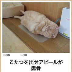 「I am a cat, too! Cute Baby Animals, Animals And Pets, Funny Animals, Crazy Cat Lady, Crazy Cats, Japanese Cat, Kawaii Cat, Sleepy Cat, Funny Cute