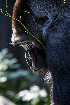 ♀ #gorilla #bokeh #photography #wildlife #animals