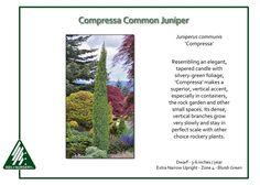Juniperus-communis-Compressa