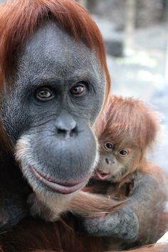 St. Louis Zoo's 45-year-old Sumatran orangutan, Merah, with new baby Ginger, born Dec. 2014. (Photo by Jane Padfield.)