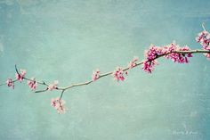 spring blossoms, pink, blue, flowers, nature,  fine art photography