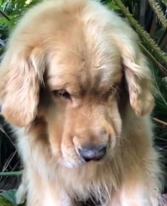 """""""smush face"""" on a golden retriever, one of the cutest but rarely captured poses. Two goldens, no luck whatsoever! #ItsADogsLife #goldenretriever"""