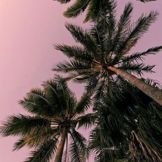 Nature wallpaper iphone summer palm trees 35 ideas for 2019 Palm Trees Tumblr, Palm Tree Background, Hippie Background, Beach Background, Iphone Hintegründe, Pink Iphone, Quotes Pink, Palmiers, Tree Wallpaper