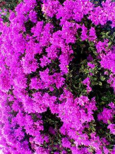 Bougainvillea Beautiful Flowers Garden, Love Flowers, Colorful Flowers, Beautiful Gardens, Wild Flowers, Front Yard Flowers, Victorian Flowers, Flowering Trees, Tropical Garden
