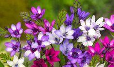 Baboon Flower (Babiana stricta)