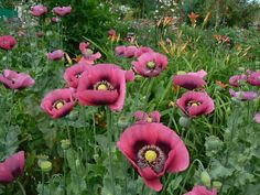 Garden Photo of the Day: Some poppies at Giverny