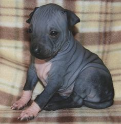 little american hairless terrier Hairless Animals, Hairless Dog, Unique Dog Breeds, Rare Dog Breeds, Kittens And Puppies, Cute Puppies, Rat Terriers, Terrier Dogs, Terrier Mix