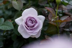 https://flic.kr/p/pn5vsX | Light purple | Carl Zeiss Jena Tessar 50mm/F2.8 (Silver Body) Rose @Jindai Botanical Gardens, Tokyo