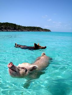 Pig Beach, Bahamas - Kuoni ANOTHER MUST ON MY BUCKET LIST!!