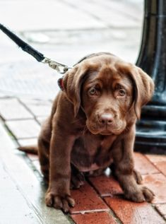 I want to adopt a chocolate lab puppy so bad! I'm seriously counting down until I don't live in a student apartment anymore and I can have a puppy :)