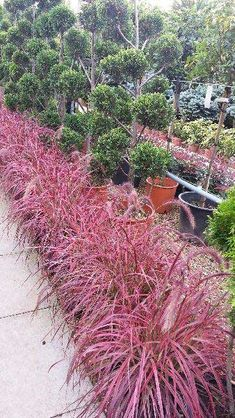 Pennisetum Setaceum Fireworks (Fountain Grass) has spectacular pink arching foliage with its bright red foliage and tall, fluffy flower heads. An architectural delight as a low growing ornamental grass. Tall Ornamental Grasses, Perennial Grasses, Pink Garden, Shade Garden, Garden Bed, Flower Landscape, Landscape Design, Japanese Garden Landscape, Grass For Sale