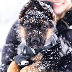 Check the link in @thegermanshepherdworld profile and choose your GSD  or hoodie! International shipping! Follow my Pawtners: @schnauzerworld @staffymoments @bulldogdays @greatdanemoments  NOTE! This photo is taken and reposted from: @atlasmeetsworld  All images are copyright to their respective owners.  #germanshepherd by thegermanshepherdworld