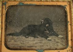1/4 Plate Daguerreotype of A Dog