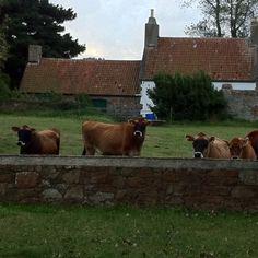 Jersey cow neighbour !