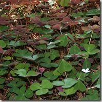 Gardening Under Redwoods: Plants for Dry Shade and Acidic Soil | North Coast Gardening