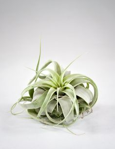 "Sometimes called ""King of the Air Plants,"" the Xerographica stands alone, with a star shaped form, bright minty green color, and curling leaves. Perfect as an accent piece on a shelf, in a glass vesse"