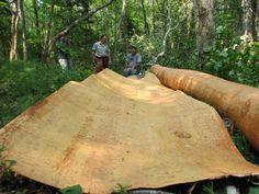 birch bark canoe - Google Search Taking the bark off the birch trees.