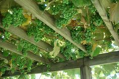 Grapes growing on a pergola - this is what i originally was going to do but hubby said no! :(