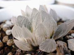 Раритет - редкие суккуленты Flora, Plants, Garden, Tree, Cacti And Succulents, Succulent Pots, Cactus And Succulents, Garden Plants, Planting Succulents