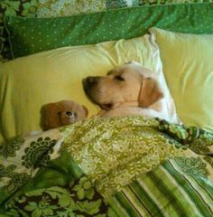 Mind Blowing Facts About Labrador Retrievers And Ideas. Amazing Facts About Labrador Retrievers And Ideas. Cute Dogs And Puppies, Lab Puppies, Big Dogs, I Love Dogs, Doggies, Sweet Dogs, Most Popular Dog Breeds, Labrador Retriever Dog, Labrador Dogs