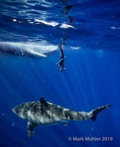 Divers monitoring a rotting whale carcass off the coast of Oahu came face-to-face with what may have been the famed Deep Blue, the largest great white shark ever recorded. Biggest White Shark, Largest Great White Shark, Deep Blue Great White, Sea Shark, Shark Photos, Ocean Creatures, Big Fish, Ocean Life, Marine Life